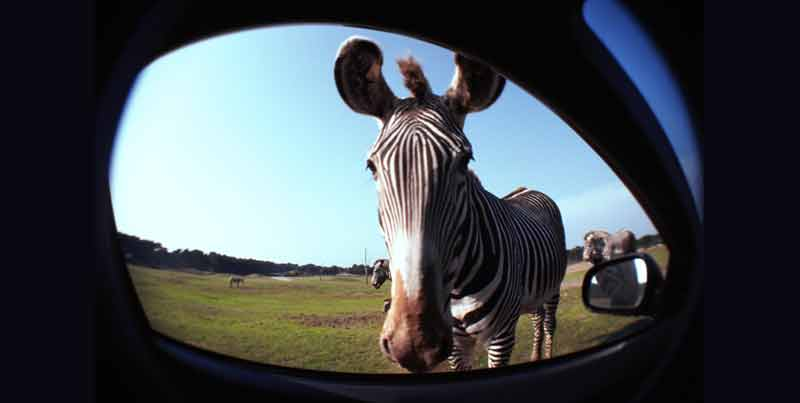 zebra in rearview mirror